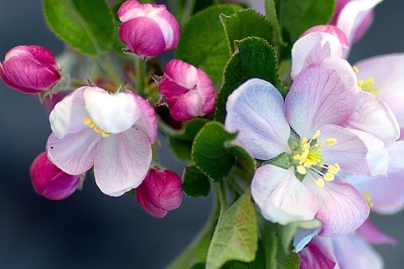 Pommiers - Fruitiers - Bretagne
