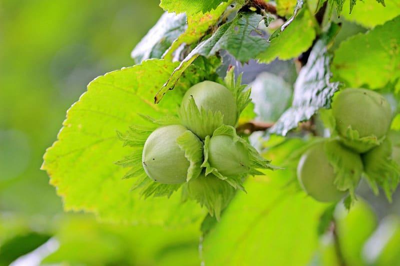 Noisetier - Vente de fruitiers - Bretagne