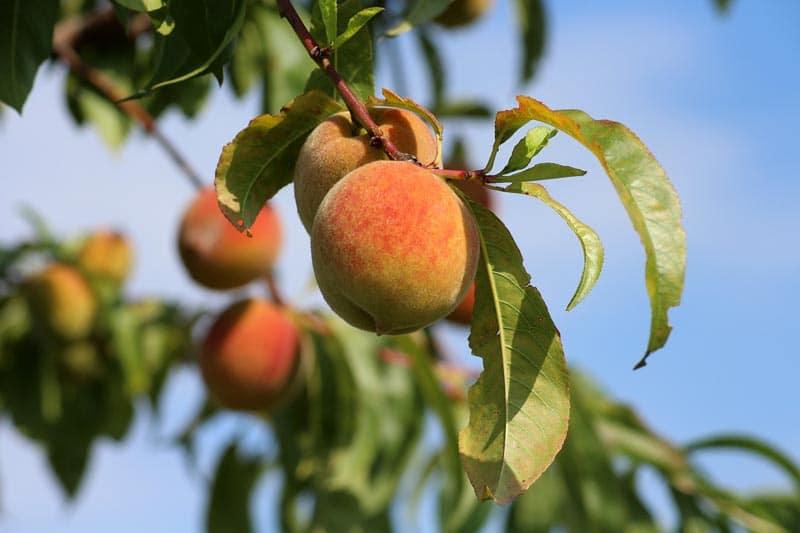Pêcher - Vente de fruitiers - Bretagne