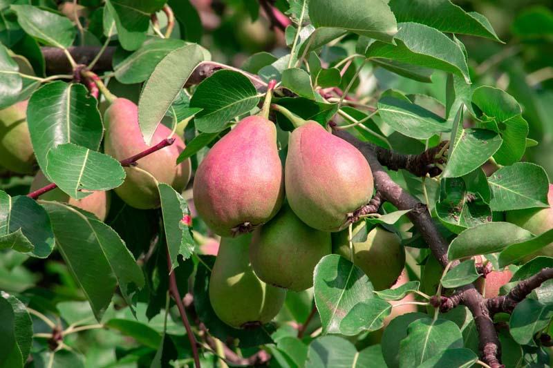 Poiriers - Vente de fruitiers en Bretagne