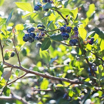 Vente de fruitiers - Finistère - Bretagne