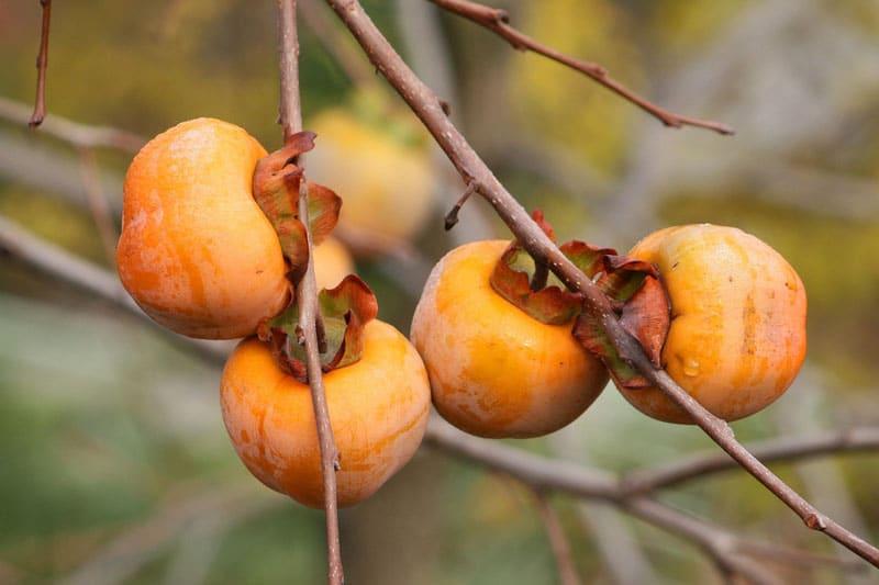 Kakis - Vente de fruitiers - Brertagne